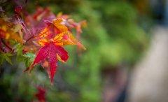 acer_leave_autumn.jpg